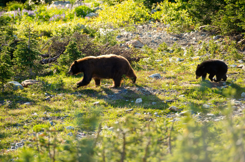 Black bear and cub. PC: Tourism Whistler/Mike Crane
